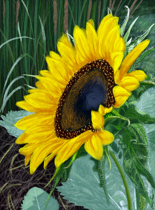 sunflower drawing 500