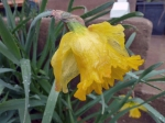 This sopping wet daffodil looks so pitiful, doesn't it?