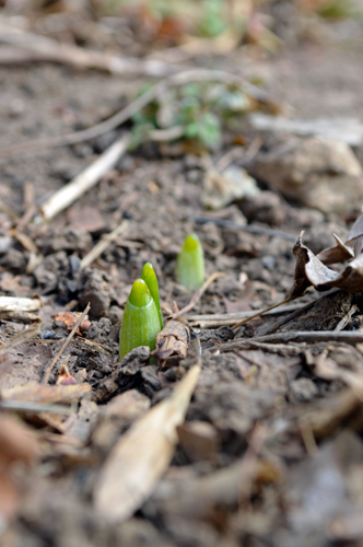 Three Daffidil Sprouts