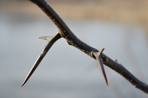 Honey Locust Branch