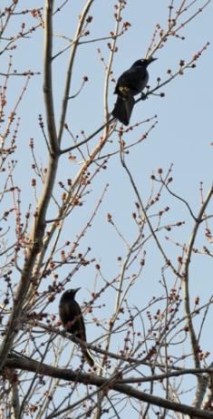 Two Blackbirds Vertical