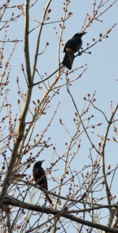 Two Blackbirds Vertical