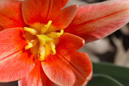 Red Tulip Macro