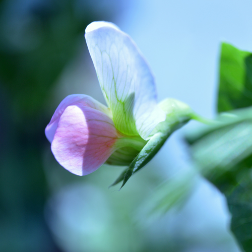 Pea Blossom - Side View